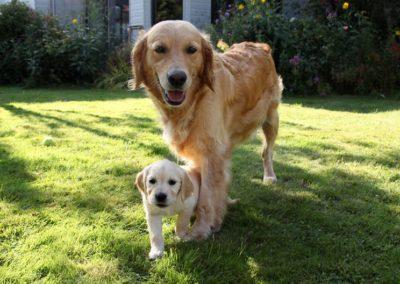chien guide d'aveugle et son chiot